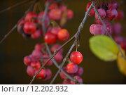 Купить «plant fruit autumn fall embellishment», фото № 12202932, снято 22 января 2019 г. (c) PantherMedia / Фотобанк Лори