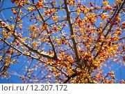 Купить «yellow tree fruit embellishment malus», фото № 12207172, снято 22 января 2019 г. (c) PantherMedia / Фотобанк Лори