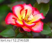 Роза флорибунда Бетти Буп (лат. Betty Boop), Carruth 1999. Стоковое фото, фотограф lana1501 / Фотобанк Лори