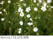 Купить «White flowers of Stellaria (stitchwort or chickweed)», фото № 12215908, снято 25 мая 2019 г. (c) PantherMedia / Фотобанк Лори