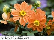 Купить «Blooming dahlia flowers», фото № 12222236, снято 23 июля 2019 г. (c) PantherMedia / Фотобанк Лори