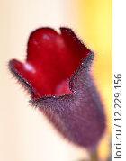 Купить «toxic poisonous aeschynanthus decorative plant», фото № 12229156, снято 21 марта 2019 г. (c) PantherMedia / Фотобанк Лори