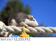 Купить «House mouse on the rope», фото № 12233912, снято 9 июля 2020 г. (c) PantherMedia / Фотобанк Лори