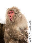 Japanese Snow Monkey. Стоковое фото, фотограф Vichaya Kiatying-Angsulee / PantherMedia / Фотобанк Лори