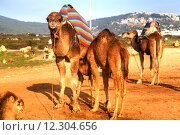 Купить «Arabian camels are standing in the sand of the desert of Morocco in Africa, in the background you can see the Atlantic Ocean», фото № 12304656, снято 18 октября 2018 г. (c) PantherMedia / Фотобанк Лори