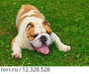 Купить «dog  English bulldog», фото № 12328528, снято 17 января 2019 г. (c) PantherMedia / Фотобанк Лори