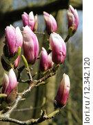 Купить «tree flora branch botany magnolia», фото № 12342120, снято 27 июня 2019 г. (c) PantherMedia / Фотобанк Лори