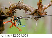 Купить «vine vineyard grape alter weinstock», фото № 12369608, снято 26 мая 2018 г. (c) PantherMedia / Фотобанк Лори
