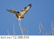 Купить «Red-Tailed Hawk Taking Off From The Tree Tops», фото № 12388016, снято 15 октября 2019 г. (c) PantherMedia / Фотобанк Лори