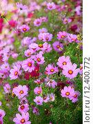 Купить «Цветы Косомс», фото № 12400772, снято 26 сентября 2011 г. (c) Морозова Татьяна / Фотобанк Лори