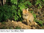 Купить «hunter fox rabies den of», фото № 12402760, снято 22 марта 2019 г. (c) PantherMedia / Фотобанк Лори