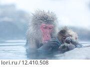 Snow monkey Macaque Onsen. Стоковое фото, фотограф Vichaya Kiatying-Angsulee / PantherMedia / Фотобанк Лори