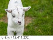 Купить «Goat kid on green grass», фото № 12411232, снято 17 июня 2019 г. (c) PantherMedia / Фотобанк Лори