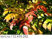 Купить «Магония (Mahonia)», фото № 12419292, снято 3 октября 2010 г. (c) Татьяна Кахилл / Фотобанк Лори