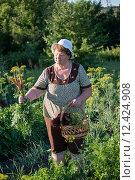 Купить «Пожилая женщина собирает урожай на огороде», фото № 12424908, снято 4 июля 2015 г. (c) Володина Ольга / Фотобанк Лори