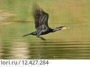 Купить «black bird dry birds swarthy», фото № 12427284, снято 28 мая 2018 г. (c) PantherMedia / Фотобанк Лори