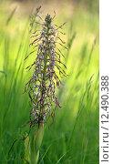 Купить «plant flower orchid bocksorchis bocksriemenzunge», фото № 12490388, снято 26 мая 2019 г. (c) PantherMedia / Фотобанк Лори
