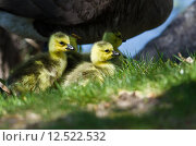 Купить «Newborn Goslings Staying Close to Mom», фото № 12522532, снято 17 июня 2019 г. (c) PantherMedia / Фотобанк Лори