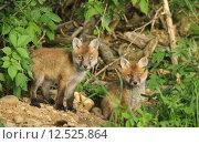Купить «hunter fox rabies den of», фото № 12525864, снято 22 марта 2019 г. (c) PantherMedia / Фотобанк Лори