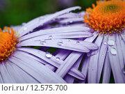 Купить «violet daisies in garden», фото № 12575700, снято 15 декабря 2018 г. (c) PantherMedia / Фотобанк Лори