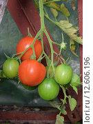 Купить «Ветка красных спелых и зелёных зреющих круглых томатов крупным планом в парнике», фото № 12606196, снято 31 августа 2015 г. (c) Максим Мицун / Фотобанк Лори