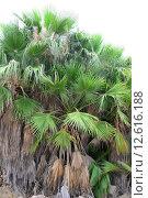 Купить «green spain palm tree licht», фото № 12616188, снято 21 марта 2019 г. (c) PantherMedia / Фотобанк Лори