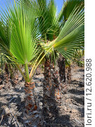 Купить «green spain palm tree licht», фото № 12620988, снято 21 марта 2019 г. (c) PantherMedia / Фотобанк Лори