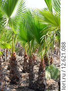 Купить «green spain palm tree licht», фото № 12621088, снято 21 марта 2019 г. (c) PantherMedia / Фотобанк Лори
