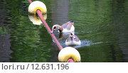 Купить «animal bird birds nilgans animals», фото № 12631196, снято 20 мая 2019 г. (c) PantherMedia / Фотобанк Лори