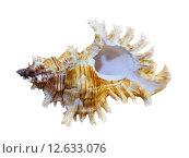 Купить «Shell of Murex Saulii or Chicoreus Saulii», фото № 12633076, снято 24 июня 2019 г. (c) PantherMedia / Фотобанк Лори