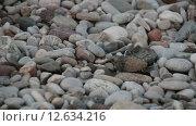 Новорожденная черепашка (Каретта Каретта) ползет к морю. Стоковое видео, видеограф Мальцев Артур / Фотобанк Лори