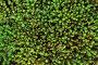 Кукушкин лён обыкновенный, или Политрихум обыкновенный (Polytrichum commune), фото № 12645668, снято 6 сентября 2015 г. (c) Григорий Писоцкий / Фотобанк Лори