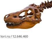 Череп и шея тираннозавра, скелет. Стоковое фото, фотограф Константин Лабунский / Фотобанк Лори