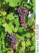 Купить «Гроздья винограда», фото № 12651520, снято 2 августа 2015 г. (c) Виталий Дубровский / Фотобанк Лори