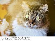 Купить «Портрет пушистой кошки», фото № 12654372, снято 17 июня 2019 г. (c) Зезелина Марина / Фотобанк Лори