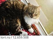 Купить «Полосатый пушистый кот отдыхает на подоконнике», фото № 12659508, снято 17 июня 2019 г. (c) Зезелина Марина / Фотобанк Лори