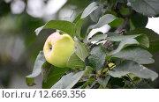 Купить «Зеленое яблоко на ветке», видеоролик № 12669356, снято 18 августа 2015 г. (c) Володина Ольга / Фотобанк Лори
