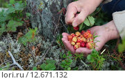 Купить «Woman picking red cloudberries on the northern marshes, hands close-up, Karelia, Russia», видеоролик № 12671132, снято 3 августа 2015 г. (c) Кекяляйнен Андрей / Фотобанк Лори
