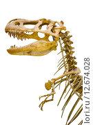 Скелет тираннозавра. Стоковое фото, фотограф Константин Лабунский / Фотобанк Лори