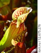 Купить «Насекомоядное растение Саррацения (лат. Sarracenia)», эксклюзивное фото № 12675276, снято 6 августа 2015 г. (c) lana1501 / Фотобанк Лори