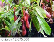 Купить «Плотоядное растение Непентес крылатый (лат. Nepenthes alata)», эксклюзивное фото № 12675360, снято 6 августа 2015 г. (c) lana1501 / Фотобанк Лори