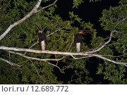 Птицы Юго-Восточной Азии. Аист Сторма. Стоковое фото, фотограф Юлия Бубличенко / Фотобанк Лори