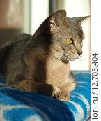 Абиссинская кошка. Стоковое фото, фотограф Vladimir Zhupanenko / Фотобанк Лори