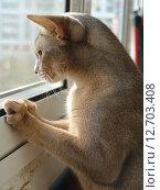Абиссинская кошка выглядывает в окно. Стоковое фото, фотограф Vladimir Zhupanenko / Фотобанк Лори