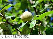 Купить «Не спелый плод айвы», фото № 12703952, снято 16 сентября 2015 г. (c) Игорь Кутателадзе / Фотобанк Лори