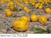 Купить «plant garden field bed pumpkin», фото № 12712228, снято 21 ноября 2019 г. (c) PantherMedia / Фотобанк Лори