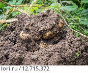 Картофель в земле. Стоковое фото, фотограф Сергей Макаров / Фотобанк Лори