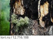 Макро мох. Стоковое фото, фотограф Анастасия Покровская / Фотобанк Лори