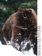 Купить «Бурый медведь в дикой зимней природе», фото № 12717516, снято 7 февраля 2013 г. (c) Эдуард Кислинский / Фотобанк Лори