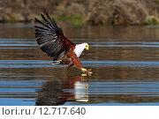 Купить «Орлан-белохвост на озере Найваша», фото № 12717640, снято 1 января 2012 г. (c) Эдуард Кислинский / Фотобанк Лори